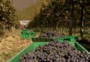 რაჭის რეგიონში 1000 ტონამდე ყურძენი უკვე დაბინავებულია